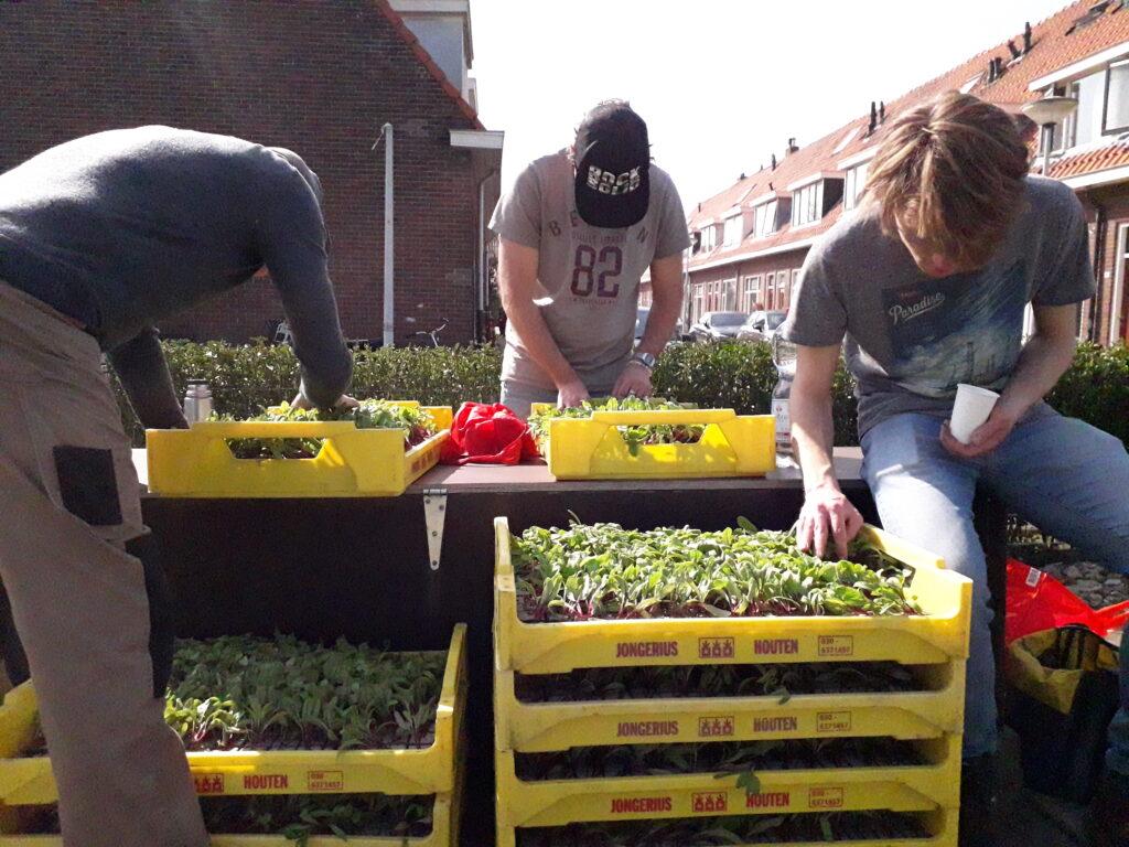 Inspectie van de bietenplantjes voordat ze de grond ingaan